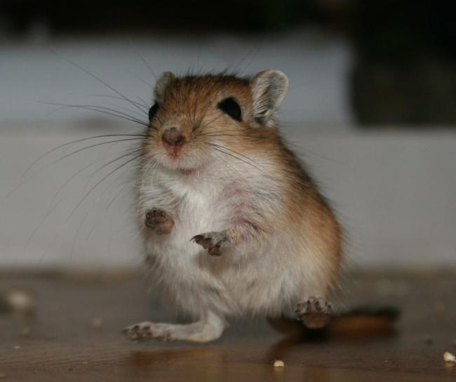 gerbil___brauner___frightened_by_kitanasblut